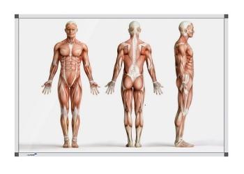 Legamaster 7-101164 Premium Board Human Anatomy - Standing - 100 x 200 cm